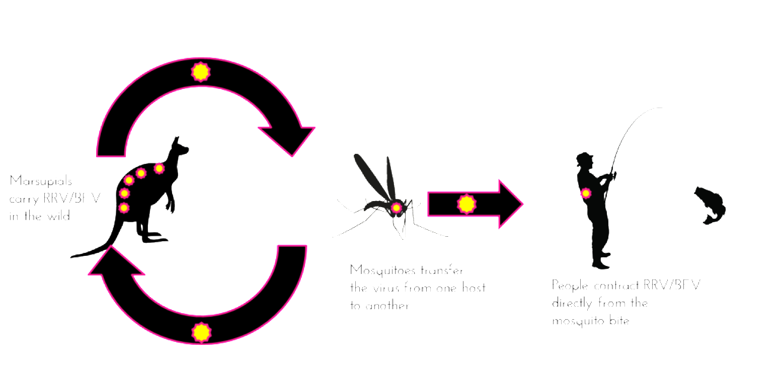 RRV DISEASE CYCLE