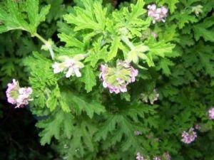 plant-citronella